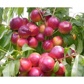 1 Kg fresh nectarine