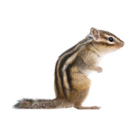 KEK Amsterdam muursticker eekhoorn