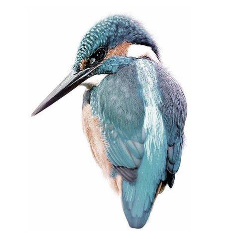 KEK Amsterdam muursticker vogel Kingfisher