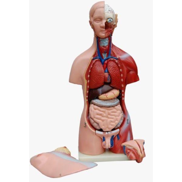 Anatomie, skelet, geraamt, Geneeskunde, Anatomisch, menselijk ...