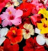 CLASSIC - Hibiscus - sirop de fruits