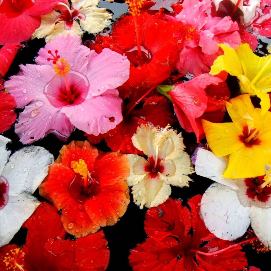 CLASSIC - Hibiscus - Frugtsirup