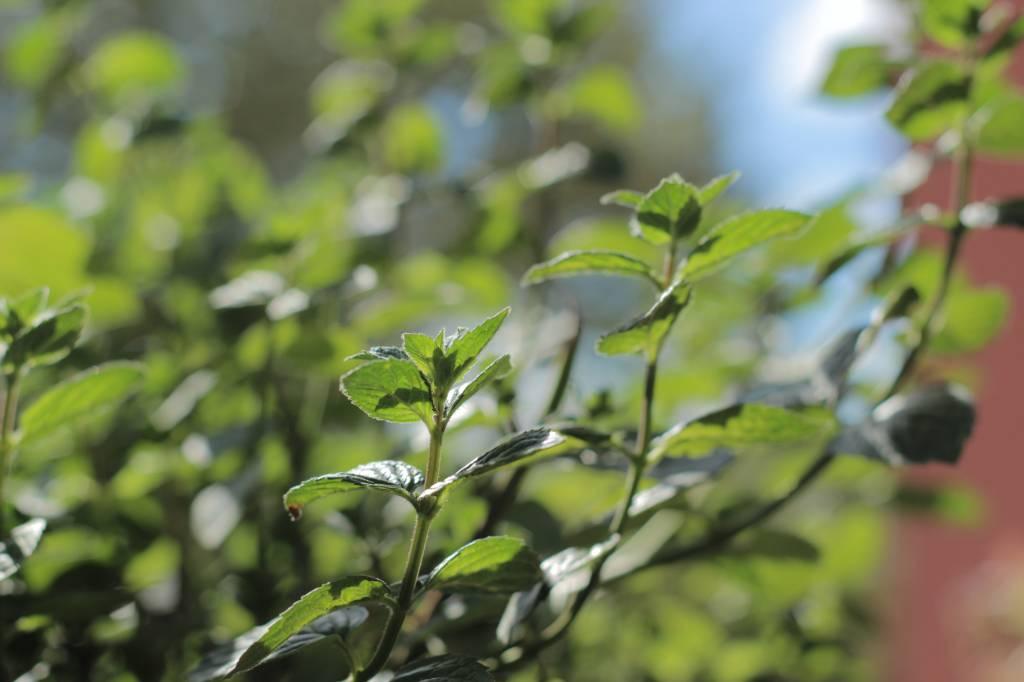 Anregung zur Heilpflanzenzucht
