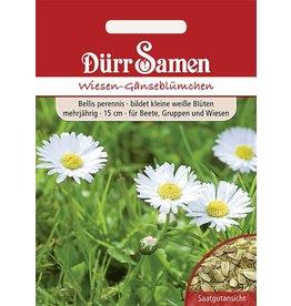 Dürr Samen Wiesen-Gänseblümchen weiß, zweijährig, 15cm