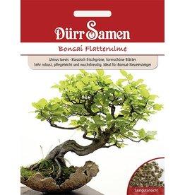 Dürr Samen Bonsai  Flatterulme, Ideal für Bonsai-Neueinsteiger