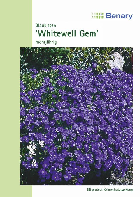 Benary Blaukissen Whitewell Gem, mehrjährig