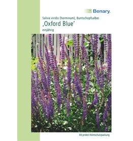 Benary Staudensalbei Oxford Blue, einjährig