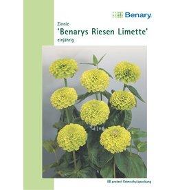 Benary Zinnie Benarys Riesen Limette, einjährig