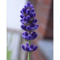 Handseife Lavendel & Nelke (1000 ml)