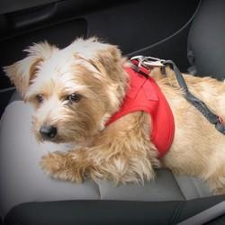 Gordel voor Hond in de Auto