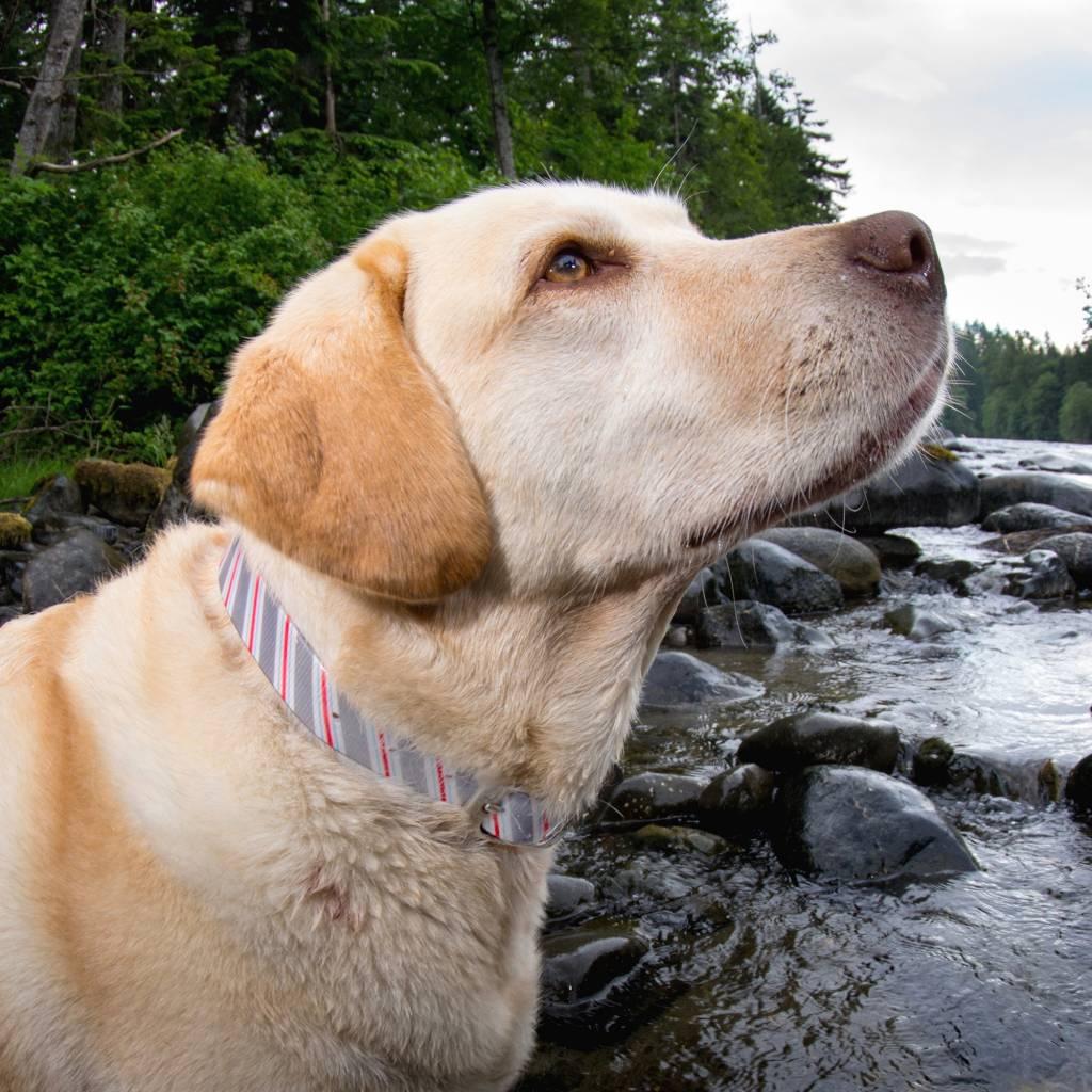 Hondenhalsband Prepster Stripe Grijs
