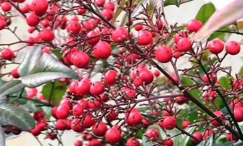 Woodwick Crimson Berries