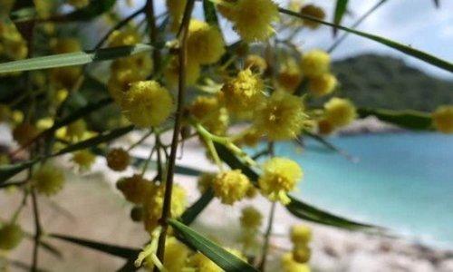 Woodwick Seaside Mimosa