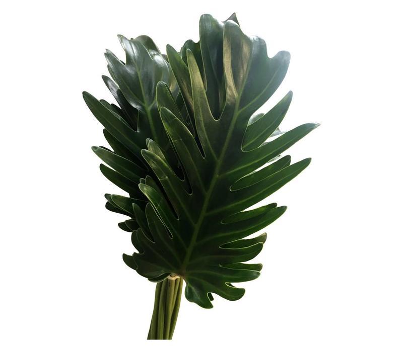 10 Philodendron 'Xanadu'