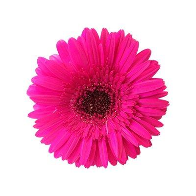 15 Gerbera Rich (Pink)