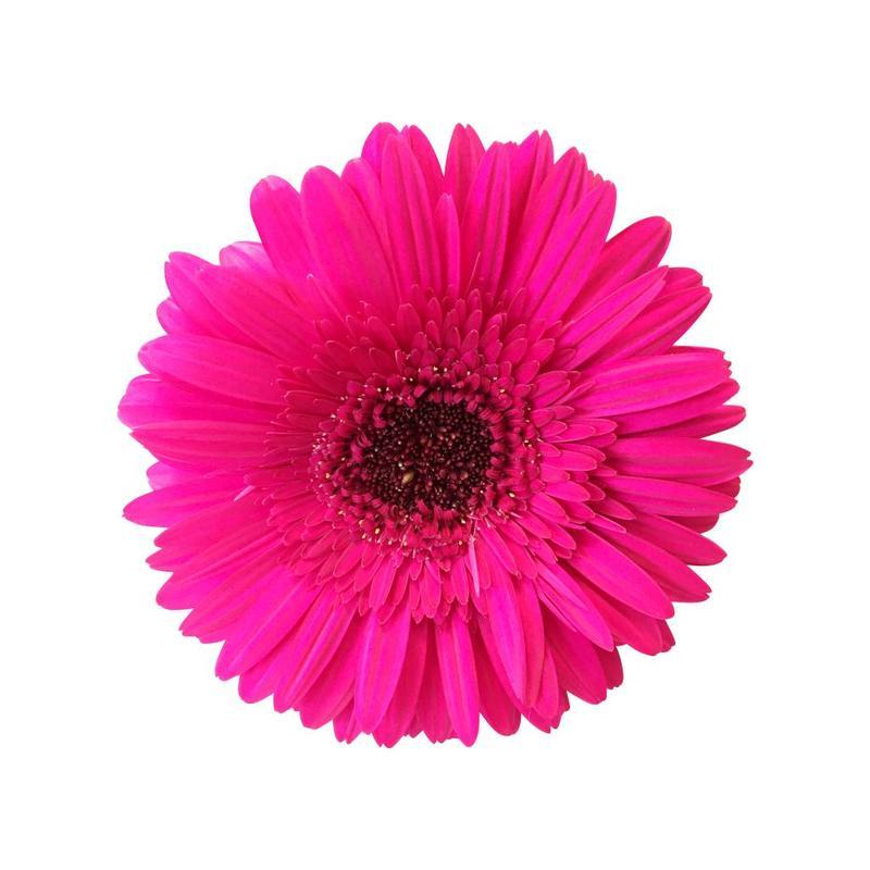 15 Gerbera Pink