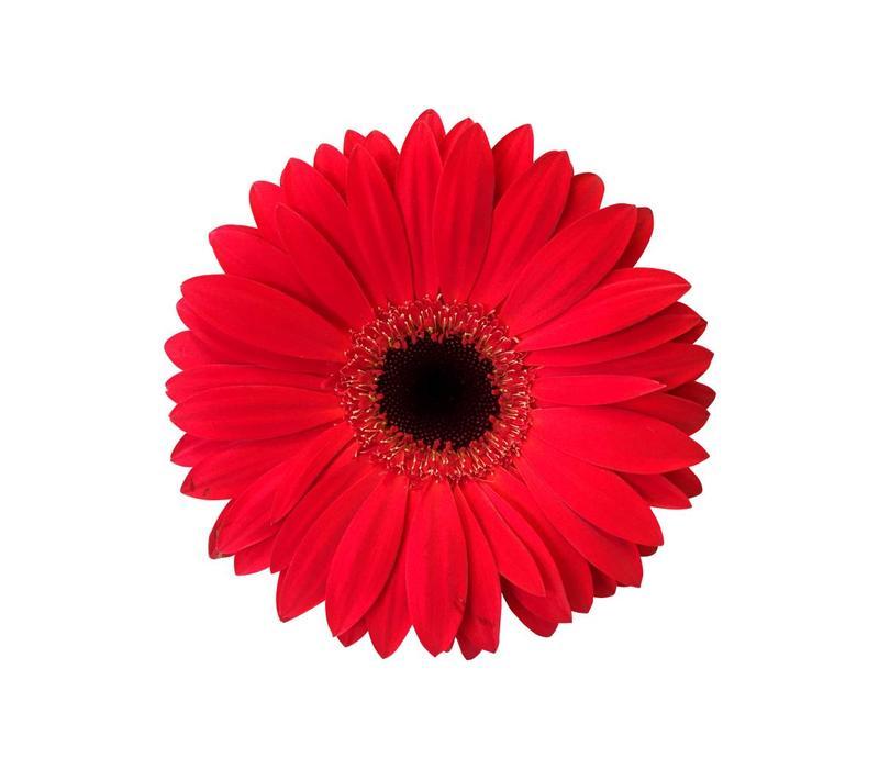 15 Gerbera  Carambole (Rot)