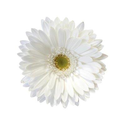 15 Gerbera Weiß