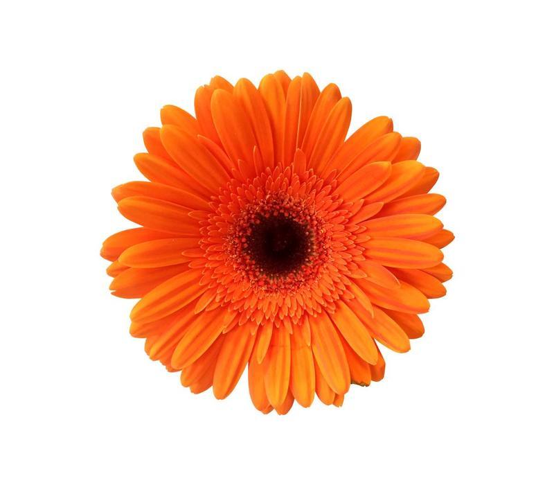 15 Gerbera Candela (Orange)