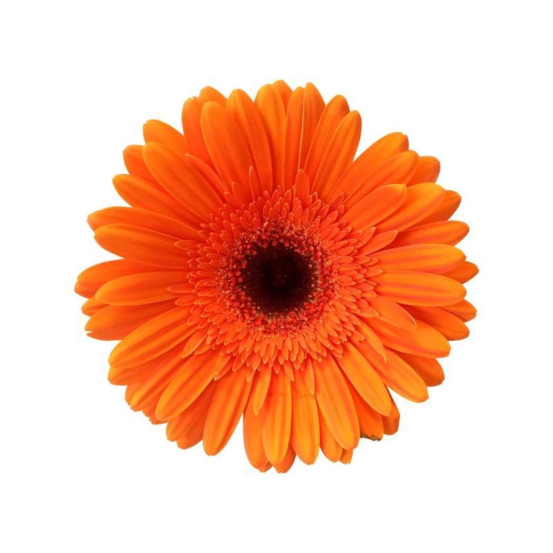 15 Gerbera Orange