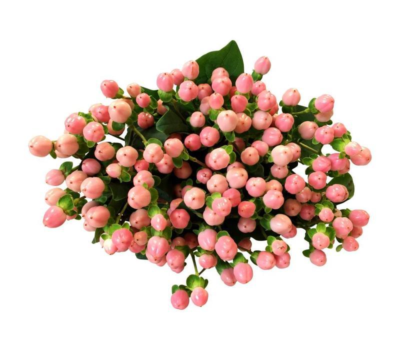 10 Hypericum Rosa