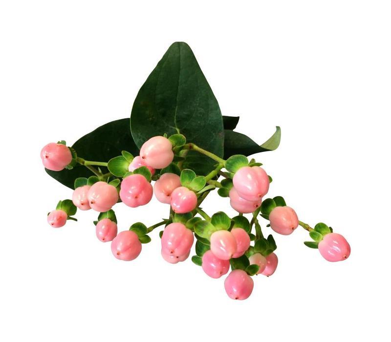 rosa hypericum frisches johanneskraut g nstig kaufen auf bezahlbare bezahlbare. Black Bedroom Furniture Sets. Home Design Ideas