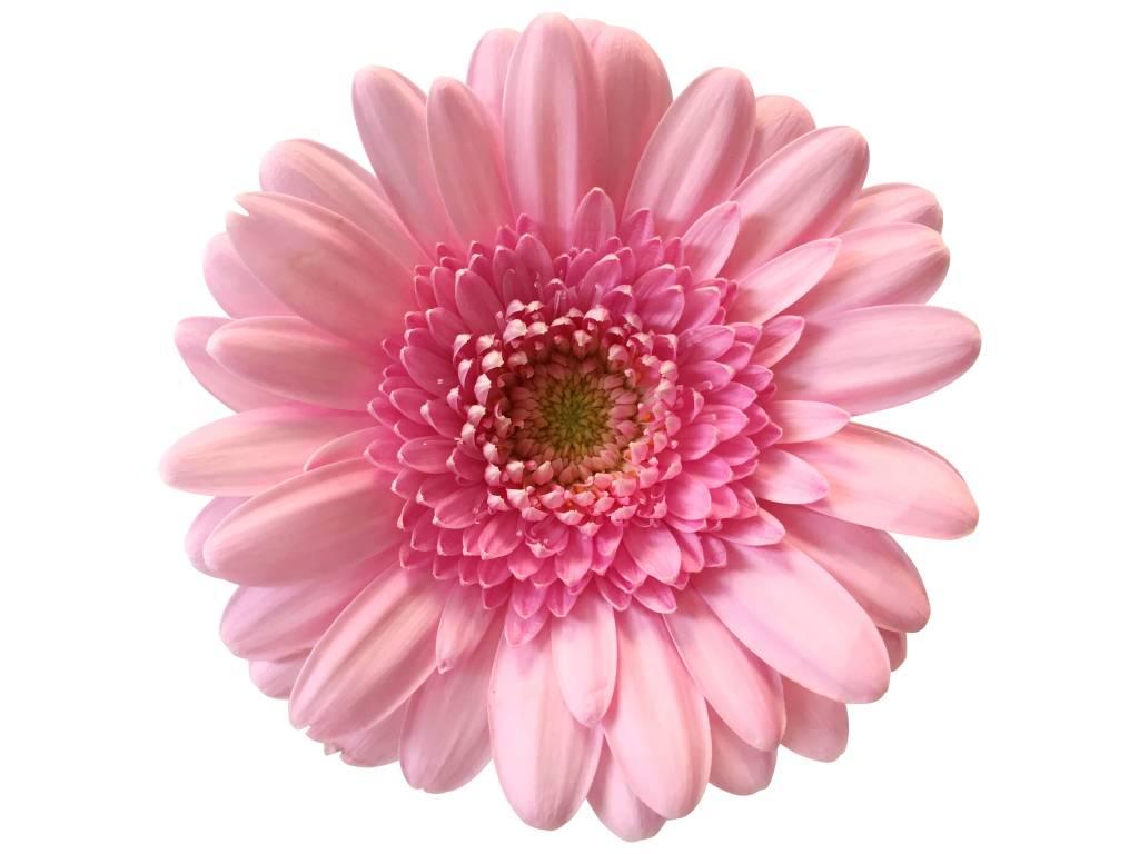 10 mini gerbera rosa bezahlbare dillenberger blumen gmbh. Black Bedroom Furniture Sets. Home Design Ideas