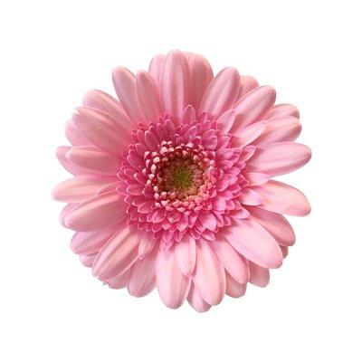 10 Mini Gerbera Rosa