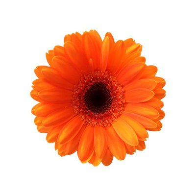 10 Mini Gerbera Orange