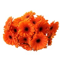 10 Mini Gerbera Bison (Orange)