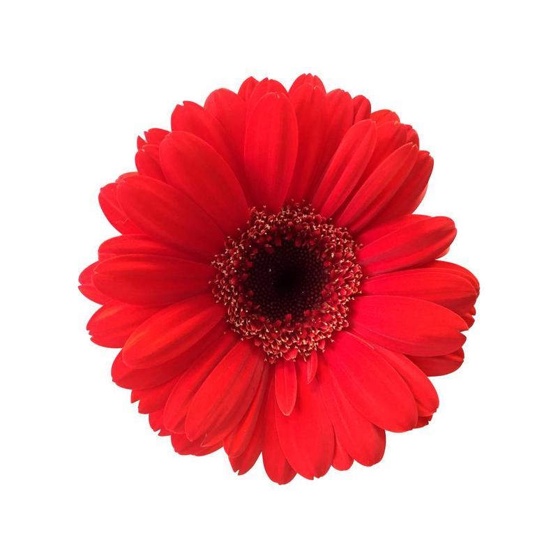 10 Mini Gerbera Suri (Rot)