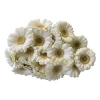 10 Mini Gerbera Albino (Weiß)
