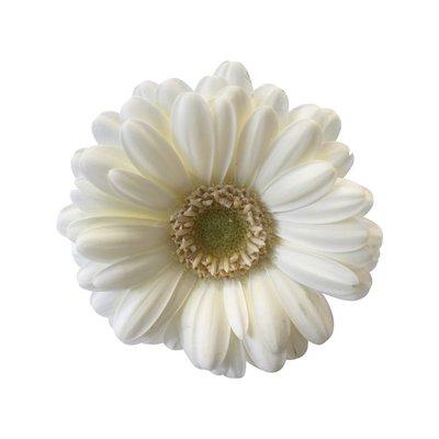 10 Mini Gerbera Weiß