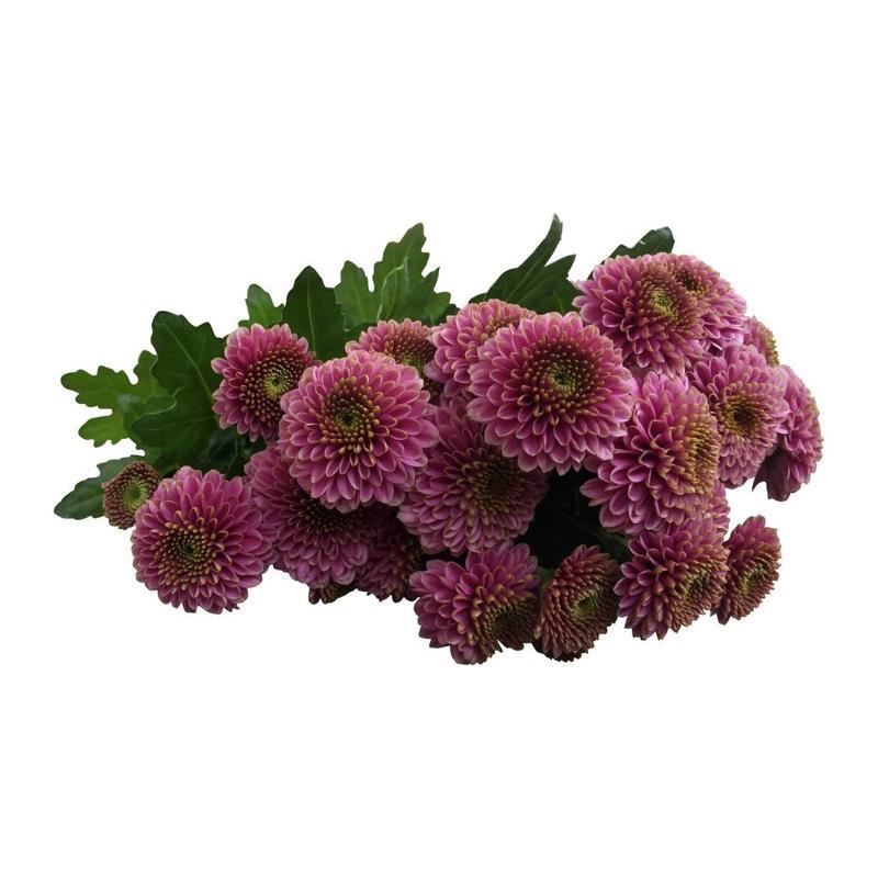 5 Santini  Doria (Rosa)