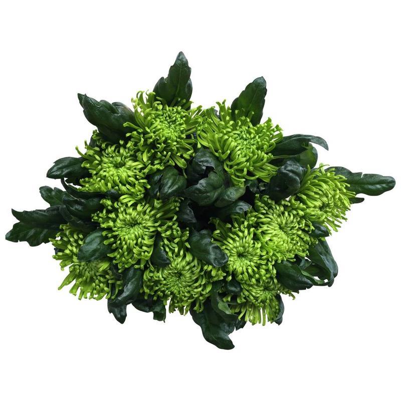 10 Deko Chrysanthemen  Anastasia Green (Grün)
