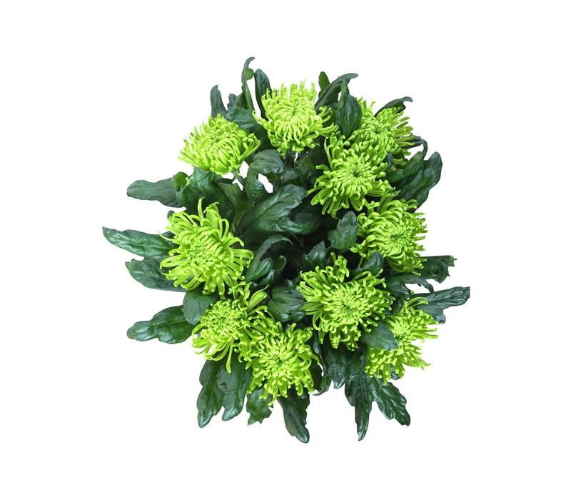 chrysanthemen in gr n blumen g nstig online versenden bezahlbare bezahlbare. Black Bedroom Furniture Sets. Home Design Ideas