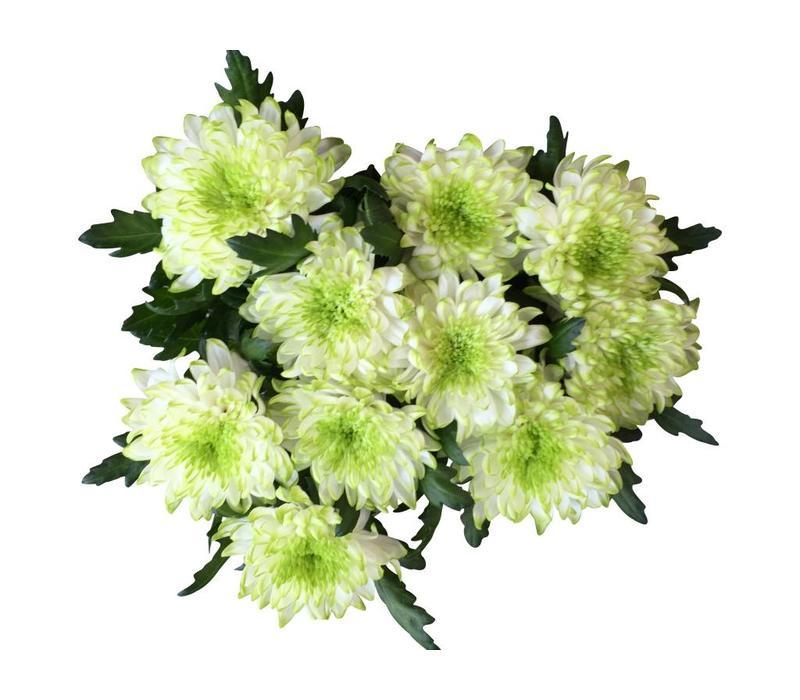10 Deko Chrysanthemen Zembla Lime (Weiß-Grün)