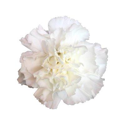10 Edelnelken Weiß