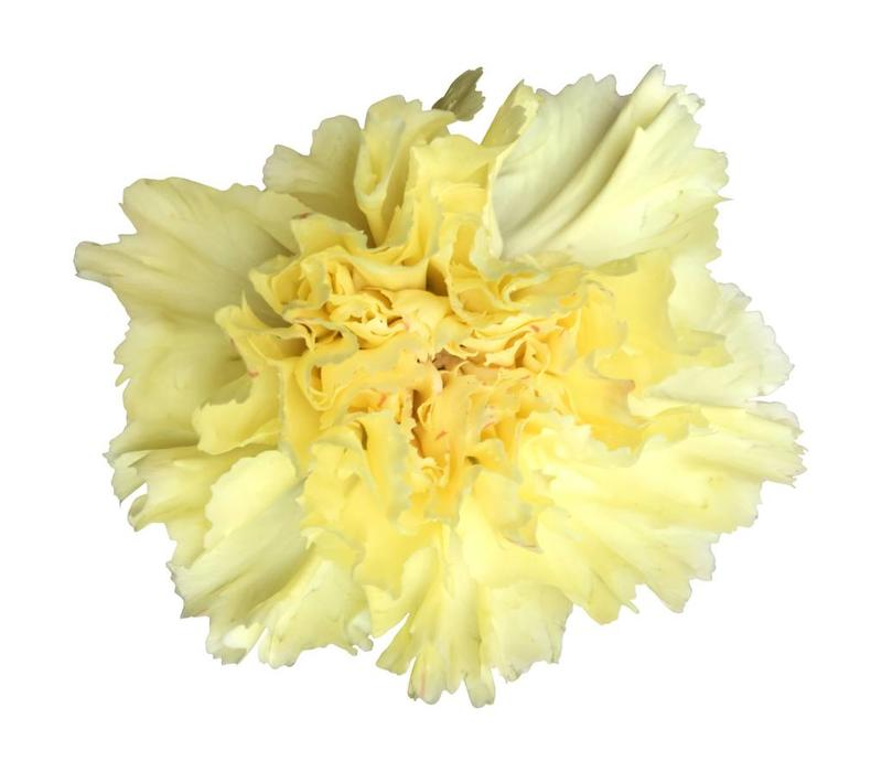 10 Edelnelken Gelb - Hermes Yellow