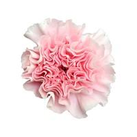 10 Edelnelken Rosa - Essiana
