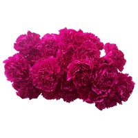 10 Edelnelken Pink - Fuchsia