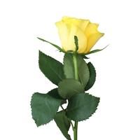10 Rosen Gelb