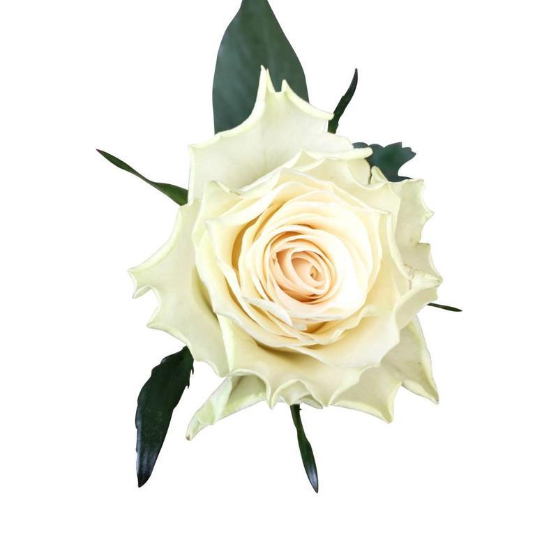 10 Rosen Creme-Weiß