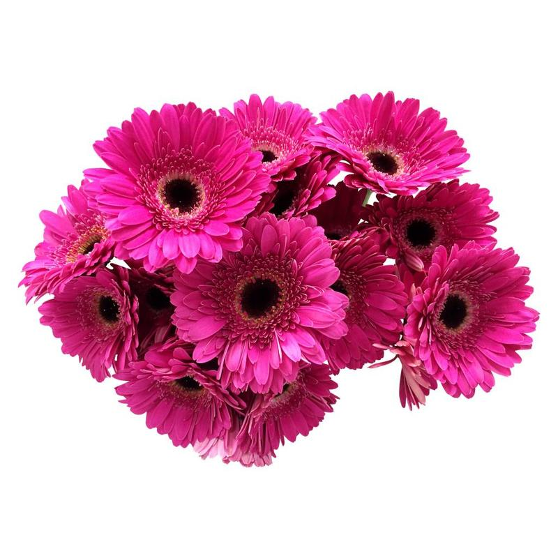 10 Mini Gerbera Whisper  (Pink)