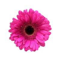 10 Mini Gerbera Whisper  (Pink)