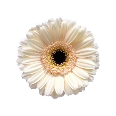 10 Mini Gerbera Cafe (Creme)