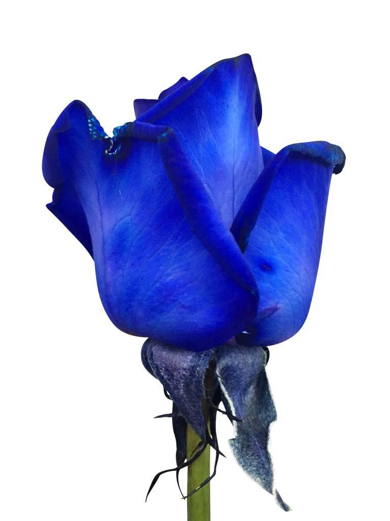 blaue rosen bestellen rosen online bestellen bezahlbare bezahlbare. Black Bedroom Furniture Sets. Home Design Ideas
