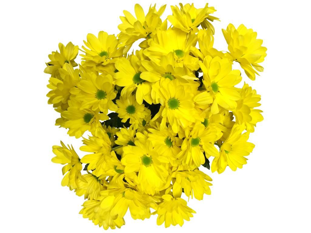 chrysanthemen gelb blumen g nstig online versenden bezahlbare bezahlbare. Black Bedroom Furniture Sets. Home Design Ideas
