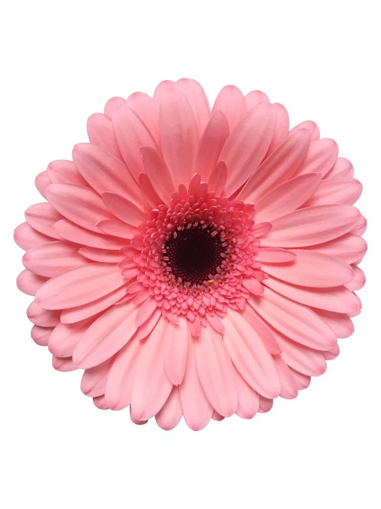 frische gerbera in rosa online bestellen bei bezahlbare. Black Bedroom Furniture Sets. Home Design Ideas