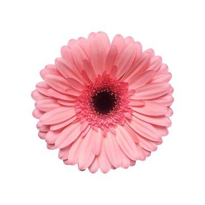 15 Gerbera Rosa